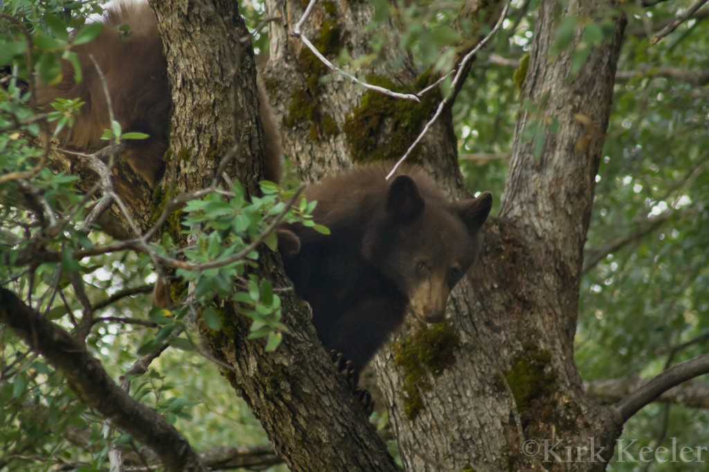 Adolescent Bears in Oak Tree, Yosemite National Park