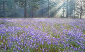 Lupine in Smoky Sunrise, Wawona