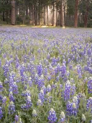 Light Through Forest, Lupines, Wawona