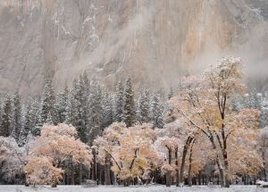 Snow on Black Oaks, El Capitan Meadow